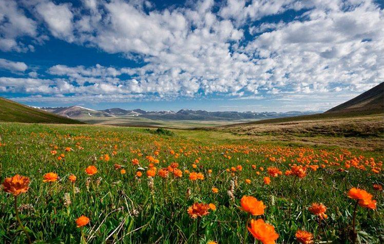цветущий луг на Алтае
